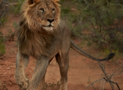 lion-copyright-photographers-on-safari-com-6777