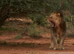 lion-copyright-photographers-on-safari-com-6778