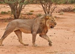lion-copyright-photographers-on-safari-com-6791