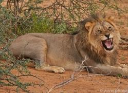 lion-copyright-photographers-on-safari-com-6792