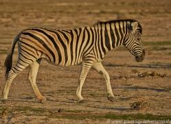 mountain-zebra-copyright-photographers-on-safari-com-6998