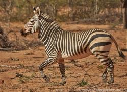 mountain-zebra-copyright-photographers-on-safari-com-7000