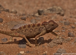 namaqua-chameleon-copyright-photographers-on-safari-com-6986