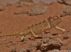 namaqua-chameleon-copyright-photographers-on-safari-com-6987