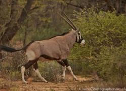 oryx-copyright-photographers-on-safari-com-7004