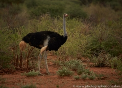 ostrich-copyright-photographers-on-safari-com-7009