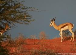 springbok-copyright-photographers-on-safari-com-7015