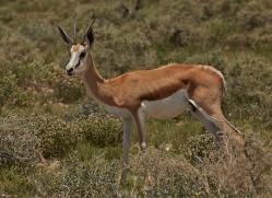 springbok-copyright-photographers-on-safari-com-7016