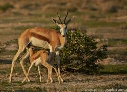springbok-copyright-photographers-on-safari-com-7018