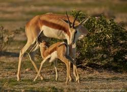 springbok-copyright-photographers-on-safari-com-7019