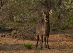 waterbuck-copyright-photographers-on-safari-com-7025