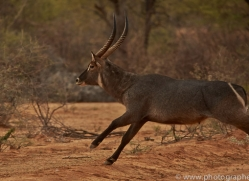 waterbuck-copyright-photographers-on-safari-com-7026