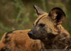 wild-dogs-copyright-photographers-on-safari-com-6839