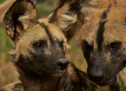 wild-dogs-copyright-photographers-on-safari-com-6840