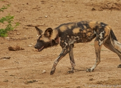 wild-dogs-copyright-photographers-on-safari-com-6844