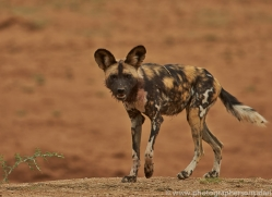 wild-dogs-copyright-photographers-on-safari-com-6845