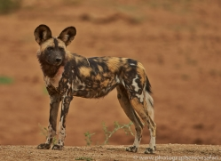 wild-dogs-copyright-photographers-on-safari-com-6846