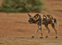 wild-dogs-copyright-photographers-on-safari-com-6848