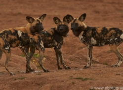 wild-dogs-copyright-photographers-on-safari-com-6850