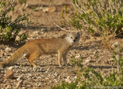 yellow-mongoose-copyright-photographers-on-safari-com-6816