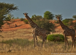 angolan-giraffe-copyright-photographers-on-safari-com-6991