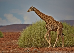 angolan-giraffe-copyright-photographers-on-safari-com-6992
