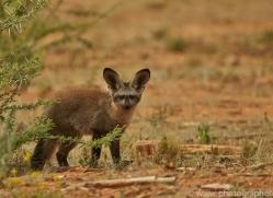 bat-eared-fox-copyright-photographers-on-safari-com-7041