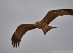 black-kite-copyright-photographers-on-safari-com-7050