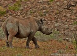 black-rhino-copyright-photographers-on-safari-com-6973
