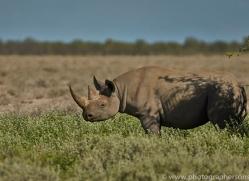 black-rhino-copyright-photographers-on-safari-com-6974