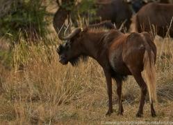 black-wildebeest-copyright-photographers-on-safari-com-6963