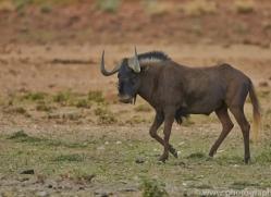 black-wildebeest-copyright-photographers-on-safari-com-6965