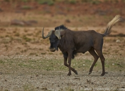 black-wildebeest-copyright-photographers-on-safari-com-6966