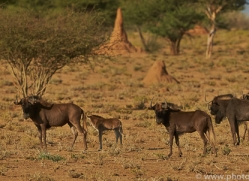 black-wildebeest-copyright-photographers-on-safari-com-6968