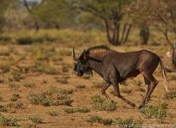 black-wildebeest-copyright-photographers-on-safari-com-6970