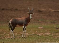 blesbok-copyright-photographers-on-safari-com-7048