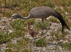 blue-crane-copyright-photographers-on-safari-com-7036