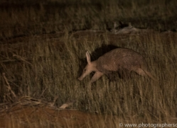 aardvark-copyright-photographers-on-safari-com-6962