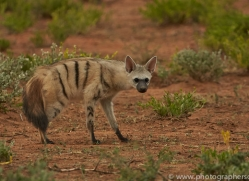 aardwolf-copyright-photographers-on-safari-com-7028