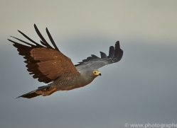 african-harrier-hawk-copyright-photographers-on-safari-com-7042