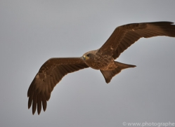 black-kite-copyright-photographers-on-safari-com-7050
