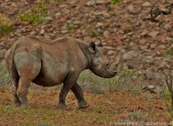 black-rhino-copyright-photographers-on-safari-com-6973