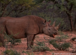 black-rhino-copyright-photographers-on-safari-com-6975