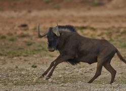 black-wildebeest-copyright-photographers-on-safari-com-6967