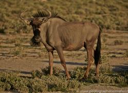 blue-wildebeest-copyright-photographers-on-safari-com-6977