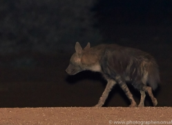 brown-hyena-copyright-photographers-on-safari-com-6980