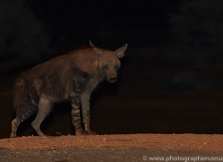 brown-hyena-copyright-photographers-on-safari-com-6981