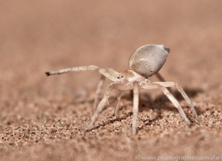 cartwheeling-spider-copyright-photographers-on-safari-com-7031