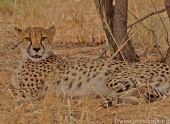 cheetah-copyright-photographers-on-safari-com-6817