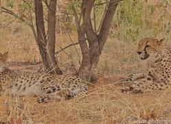 cheetah-copyright-photographers-on-safari-com-6818